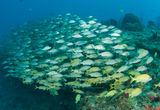 A Mixed Shool of Grunts. On a sixty foot reef in South Florida Royalty Free Stock Images