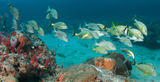 A Mixed Shool of Grunts. On a sixty foot reef in South Florida Stock Photo