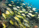 A Mixed Shool of Grunts. On a sixty foot reef in South Florida Stock Photos