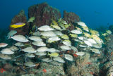 A Mixed Shool of Grunts. On a sixty foot reef in South Florida Royalty Free Stock Photos