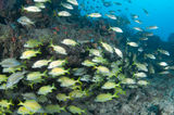A Mixed Shool of Grunts. On a sixty foot reef in South Florida Stock Image