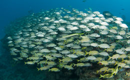 A Mixed Shool of Grunts. On a sixty foot reef in South Florida Royalty Free Stock Image