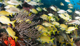 A Mixed Shool of Grunts. On a sixty foot reef in South Florida Stock Images
