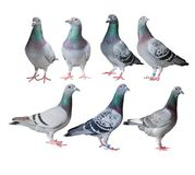 Mixed of speed racing pigeon bird white background royalty free stock photos