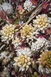 Mixed Sphagnum Moss and Sundew at Abernethy forest in the Highlands of Scotland. Stock Images