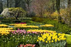 Mixed spring flowers in flowerbed, white blooming cherry tree in Keukenhof Park Stock Images