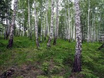 Mixed spruce and birch forest in summer royalty free stock images