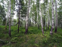 Mixed spruce and birch forest in summer stock images