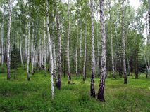 Mixed spruce and birch forest in summer royalty free stock image