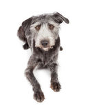 Mixed Terrier Breed Dog Laying Looking Forward Stock Image