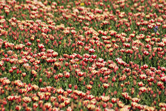 Mixed tulips. Red and white tulips in a field Royalty Free Stock Photography