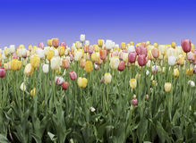 Mixed Tulips Royalty Free Stock Photography