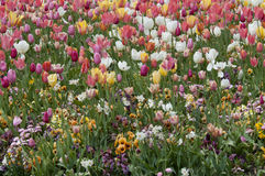 Mixed Tulips. Mixed Tulip flowers in field Stock Image