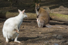 Mixed wallaby family Stock Images