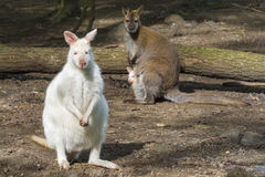 Mixed wallaby family Royalty Free Stock Photos