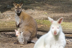 Mixed wallaby family Royalty Free Stock Images