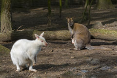 Mixed wallaby family Stock Photos