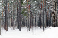 The mixed wood in winter time. Stock Photos