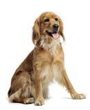 Mixedbreed dog in studio. Mixedbreed dog in a white photo  studio Stock Image