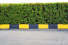 Mixing. Red Ixora coccinea plant wall at curbside  on white background Royalty Free Stock Images