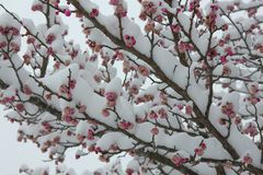 Mixing of Spring and Winter. Mixing seasons  Spring and Winter snow and blossom Royalty Free Stock Image