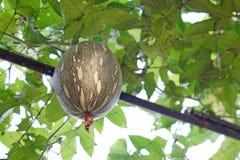 Mixta тыквы или cucurbita cushaw сквоша на дереве Стоковые Изображения