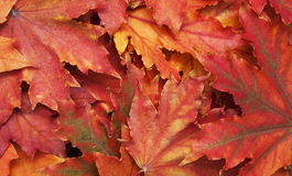 Mixture of Autumn leaves Royalty Free Stock Image