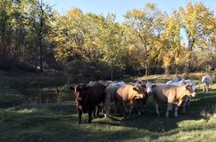 Contented herd of cattle grazing along a creek in fall stock photography
