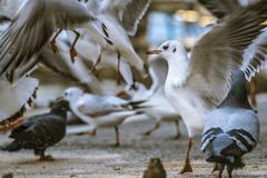 Feeding frenzy of wild birds. Mixture of gulls, sparrows and pigeons in a frenzy as food is thrown on a street surface royalty free stock photos