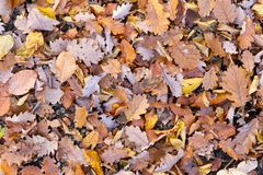 Mixture of leaves fallen in forest royalty free stock photo