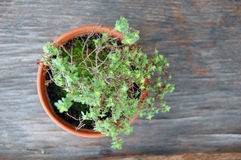 Mixture of lemongrass with thyme Royalty Free Stock Photo