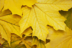 Mixture Of Autumn Leaves Royalty Free Stock Images
