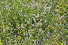 Mixture of Rabbit`s Foot and Hop Clovers. Field with a mixture of green grass, Rabbit`s foot clovers, and yellow Hop clovers in bloom Royalty Free Stock Photos
