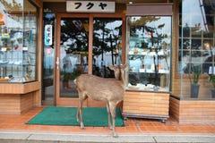 Miyajima tame deer. MIYAJIMA, JAPAN - APRIL 21, 2012: Tame deer in Miyajima island, Japan. Famous island shrine is a UNESCO World Heritage Site and a major stock image