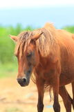 Miyako domestic horse Royalty Free Stock Photos