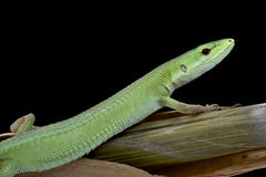 Miyako Grass Lizard (Takydromus toyamai) Royalty Free Stock Images