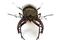 Miyama stag beetle Stock Image