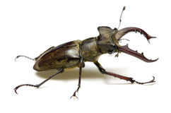 Miyama stag beetle Stock Photography