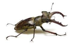 Free Miyama Stag Beetle Stock Photography - 26497902