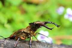 Miyama Stag Beetle Royalty Free Stock Photography