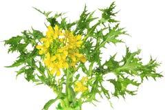 Mizuna, flowering Royalty Free Stock Photos