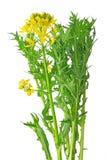Mizuna, flowering Stock Images