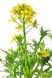 Mizuna, flowering plant Royalty Free Stock Photos