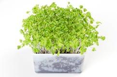 Mizuna microgreen im weißen Plastikbehälter Lizenzfreies Stockfoto