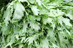 Mizuna. An unusual green leafy vegetable making an appearance at markets in the United States. Mizuna is crisp, piquant, and peppery. It is also called Japanese Royalty Free Stock Images