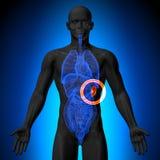 Mjälte - manlig anatomi av mänskliga organ - röntgenstrålesikt vektor illustrationer