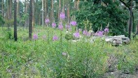 Mjölkörten blommar i en skog arkivfilmer