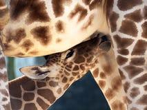 Mjölka att dricka behandla som ett barn giraffet Arkivfoto