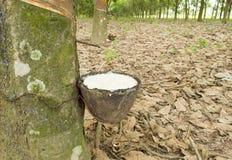 Mjölka av gummiträdet in i bunken Royaltyfri Bild