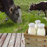 Mjölka i flaskor på en bakgrund av att beta kor Royaltyfria Bilder